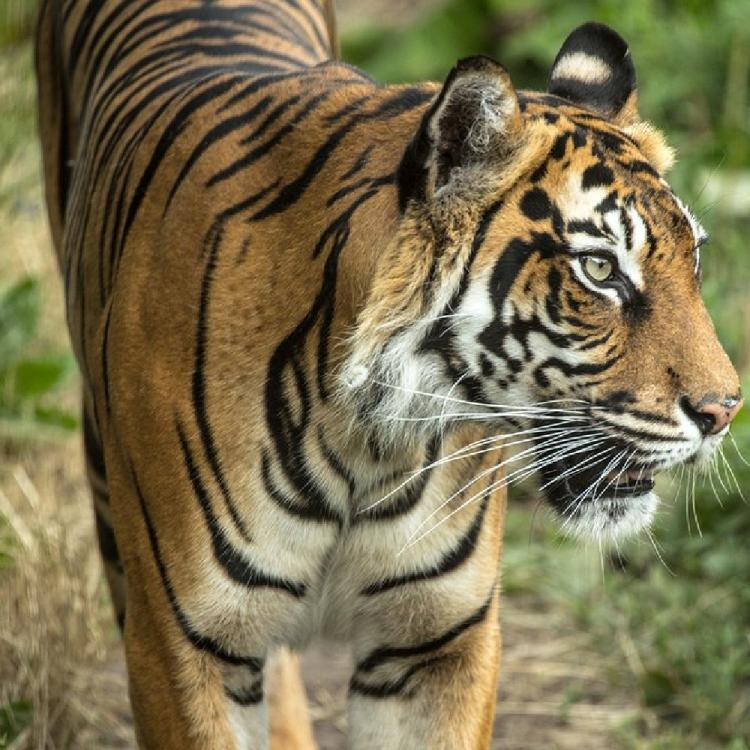 An endangered Tiger mauled to death by a potential mate at the London Zoo