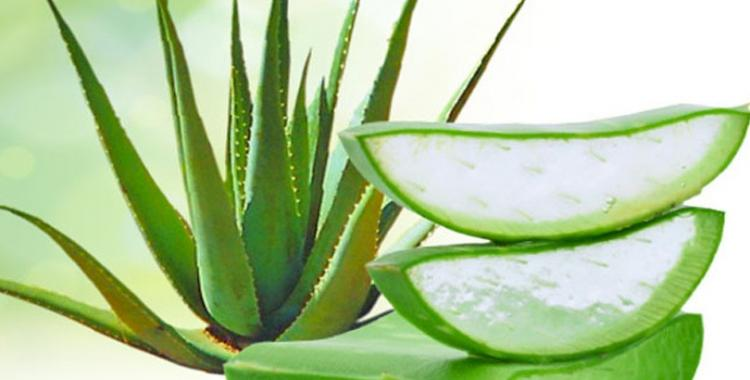 Food & Travel,aloe vera,aloe gel,aloevera plant