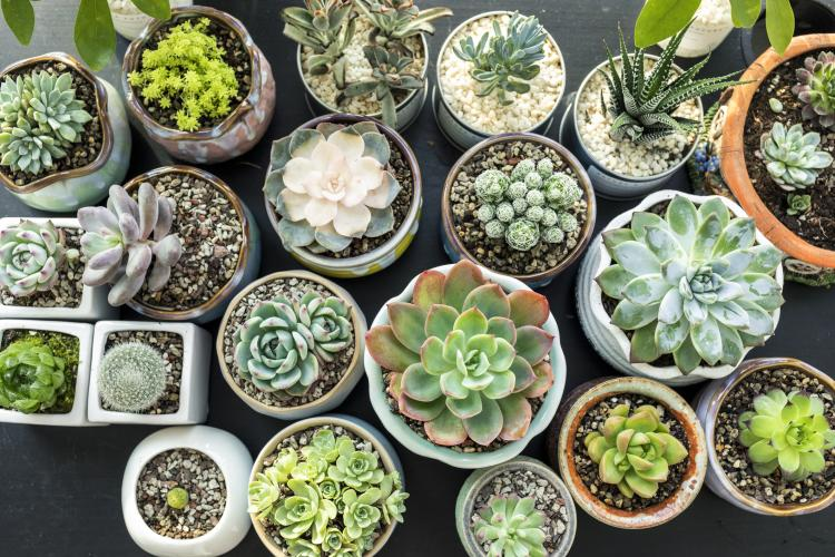 Succulents: HERE's how you can pamper your little plant for better growth