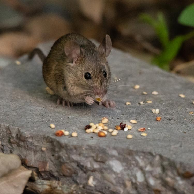 Hantavirus symptoms, causes, treatment and other details about the virus