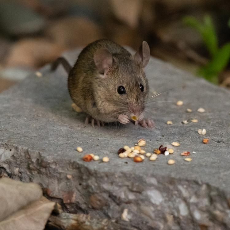 Hantavirus: Is another pandemic waiting to happen after coronavirus? Here's what you should know