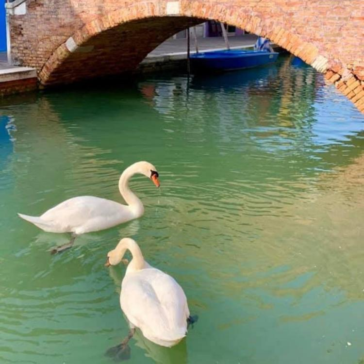 Image result for venice swans