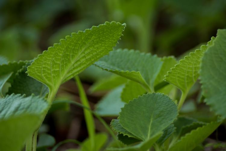 Ajwain Leaves Health Benefits: Check out the advantages of ajwain leaves you probably didn't know about