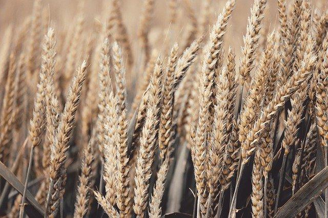 Buckwheat VS Wheat: Which one is healthier and why