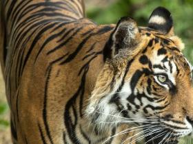 World,Tiger kills Tiger,Endangered Tiger killed,Sumatran Tiger killed