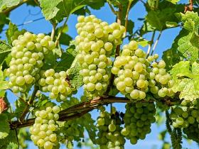 health benefits,Health & Fitness,grapes,type of grapes