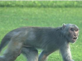 India,Coronavirus,COVID 19,Uttar Pradesh,Monkeys,Meerut